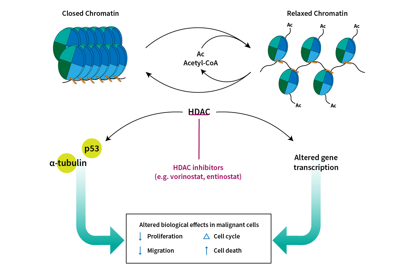Chromatin regulation via HAT and HDAC activity